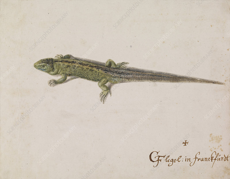 Lizard, artwork