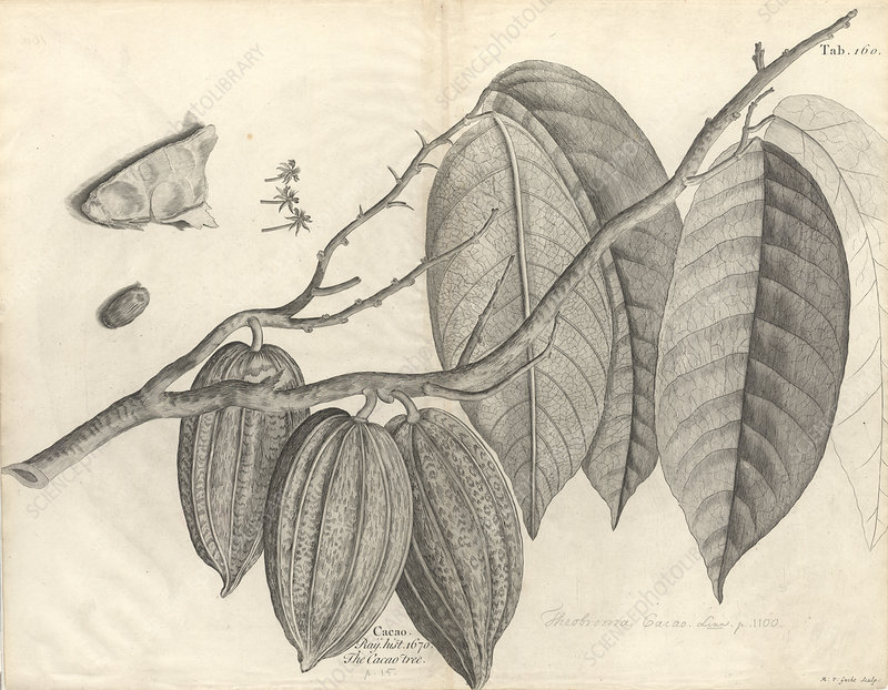 Cocoa tree leaves and pods, artwork