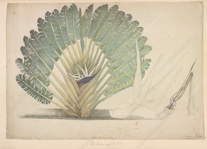 White bird of paradise plant, artwork