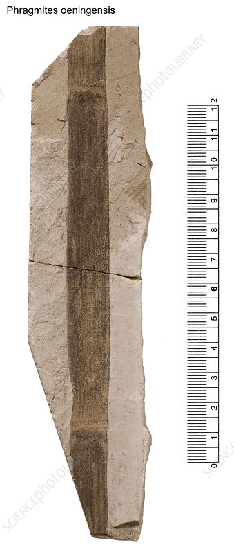 Reed fossil