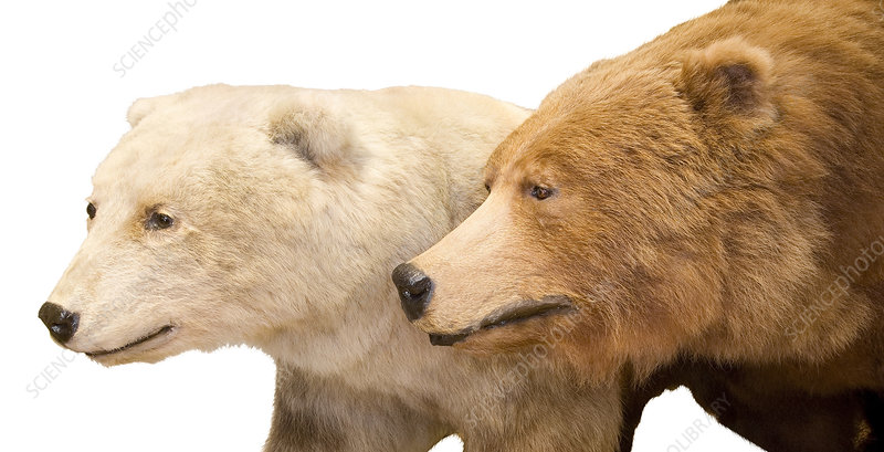 Grizzly-polar bear hybrid specimen