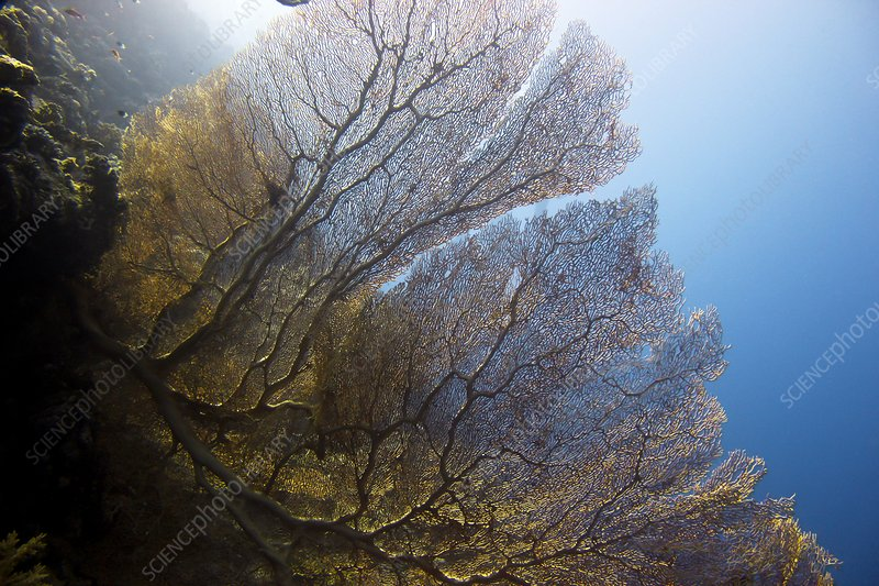 Giant gorgonian sea fan
