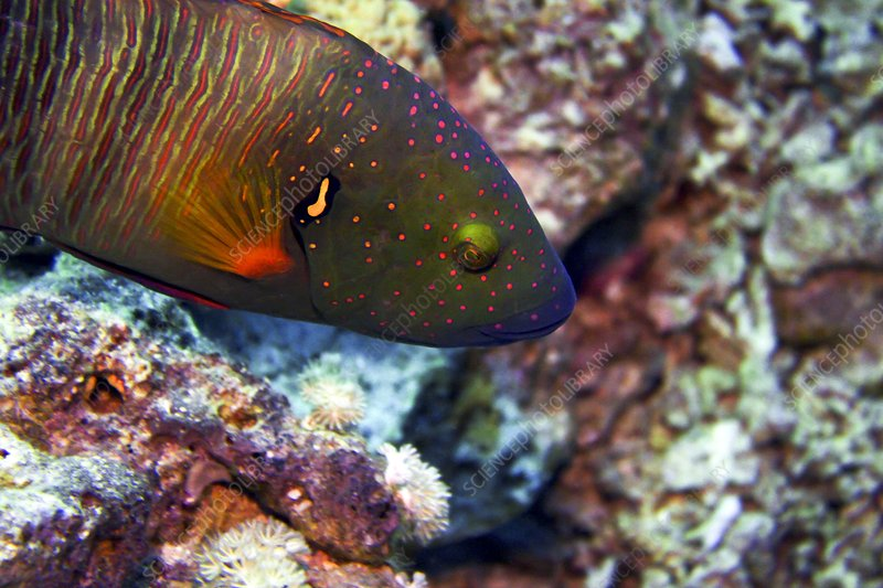 Red Sea broomtail wrasse