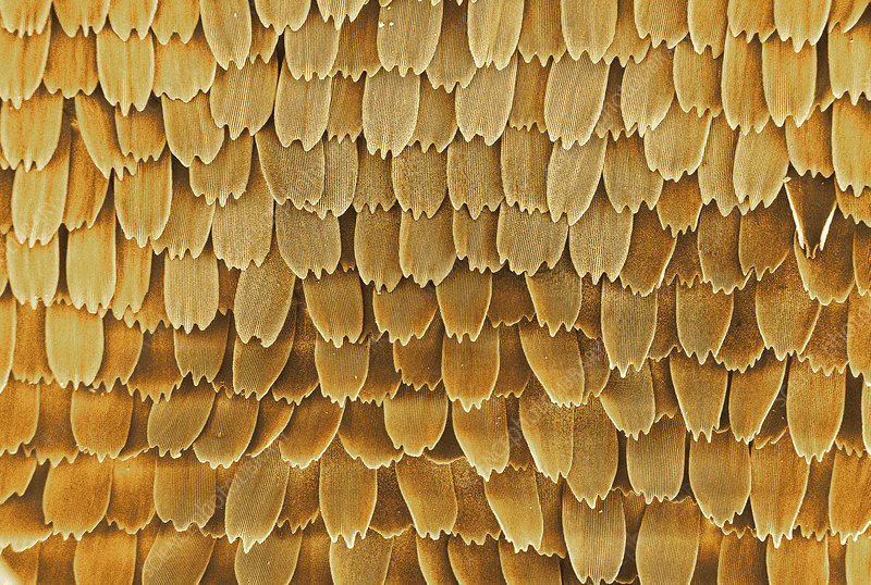 Butterfly wing scales, SEM