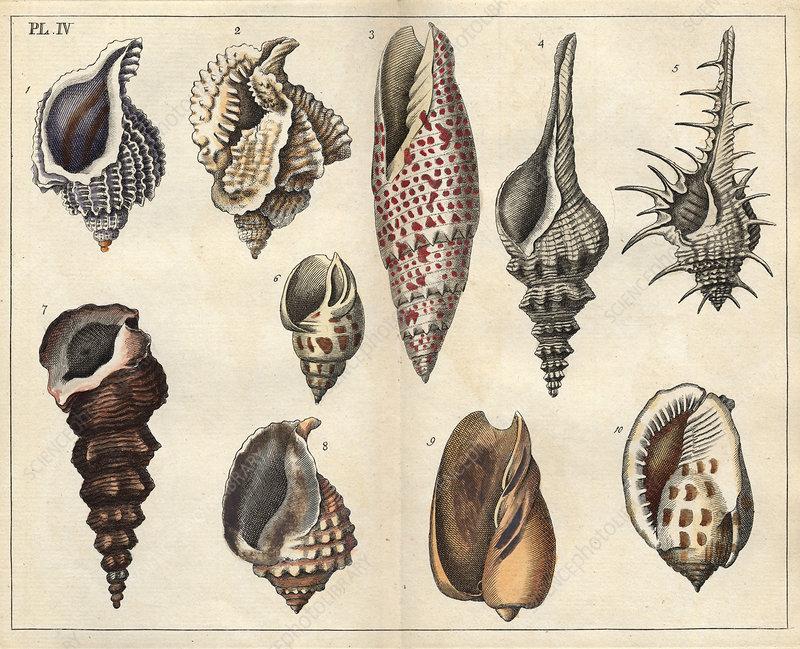 Shells, 18th century artwork