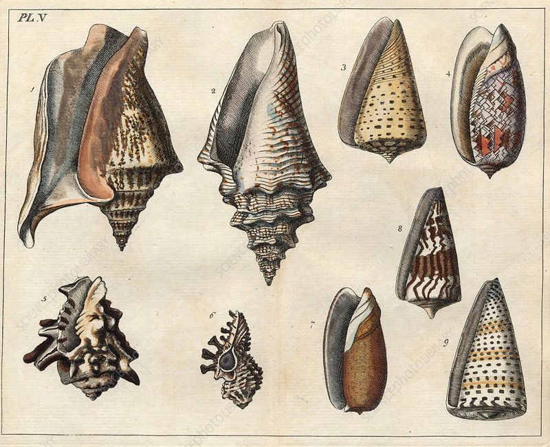 Shells, 18th century artwork