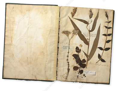 Sri Lankan plants, 17th century