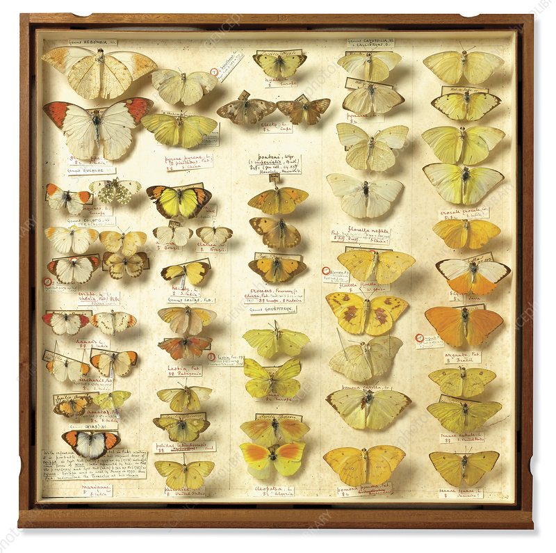 Banks insect collection, 18th century