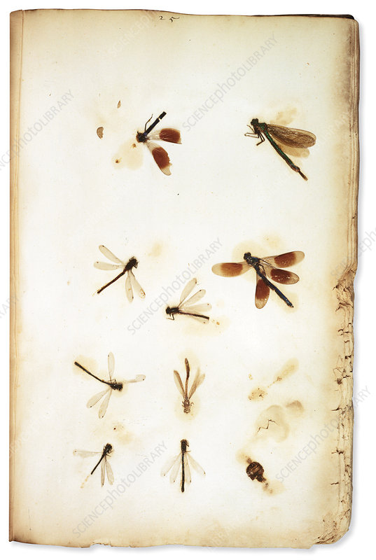 Plukenet insect collection, 17th century