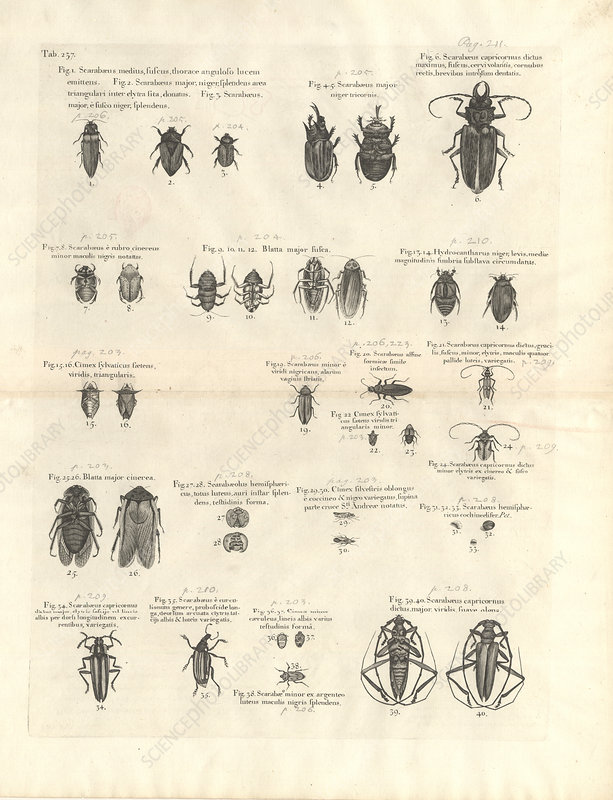 Caribbean insects, 18th century