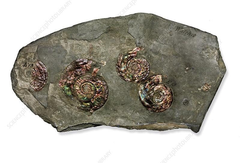 Psiloceras planorbis ammonite fossils