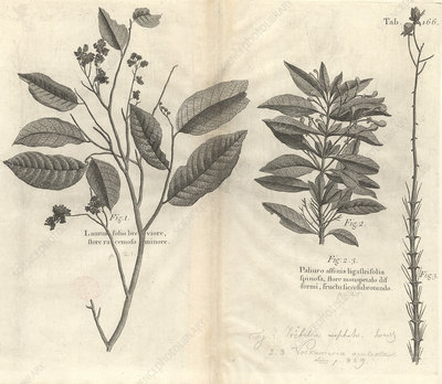 Caribbean plants, 18th century