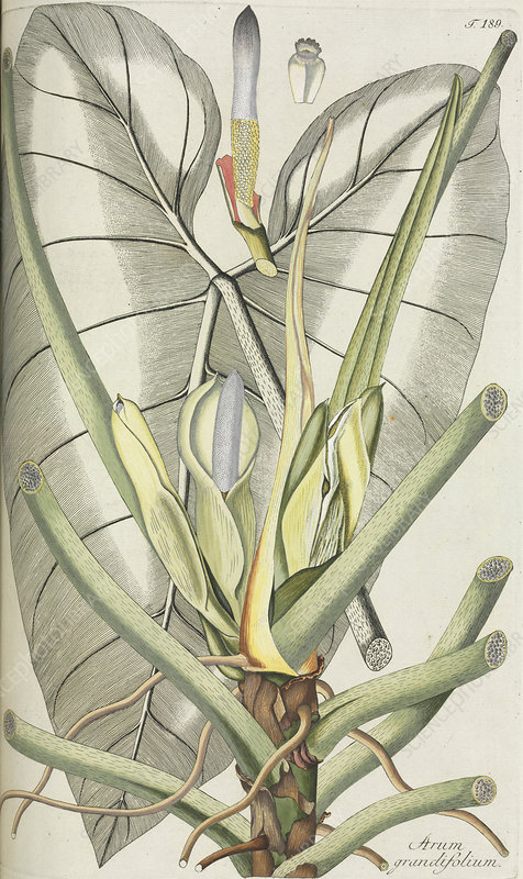 Arum (Arum grandiflorum), artwork
