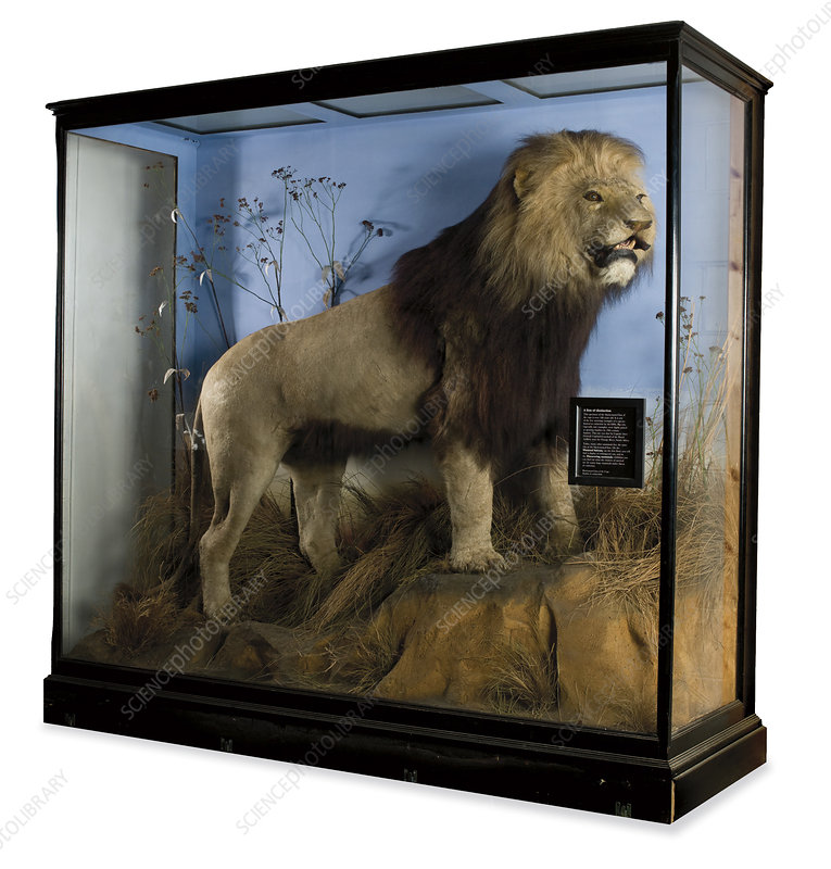 Cape lion, museum display