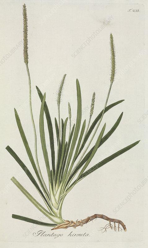 Plantain (Plantago hirsuta), artwork