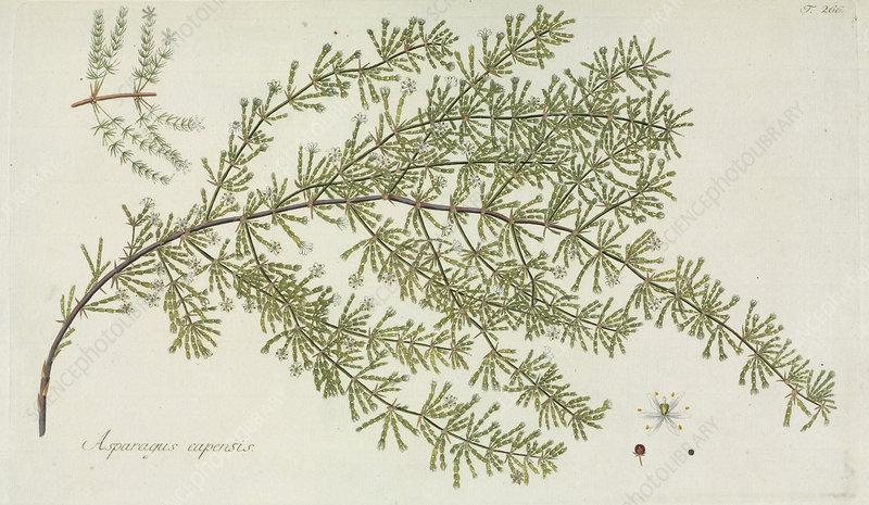 Asparagus capensis plant, artwork