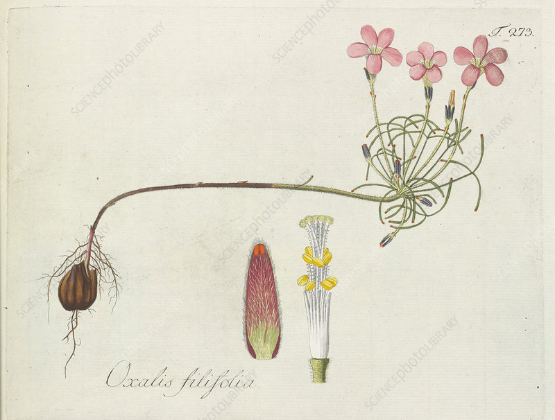 Wood-sorrel (Oxalis filifolia), artwork