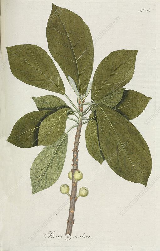 Fig tree (Ficus scabra), artwork