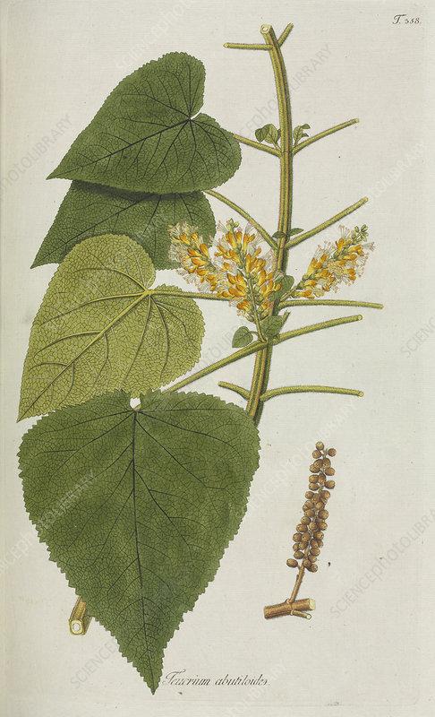 Teucrium abutiloides plant, artwork