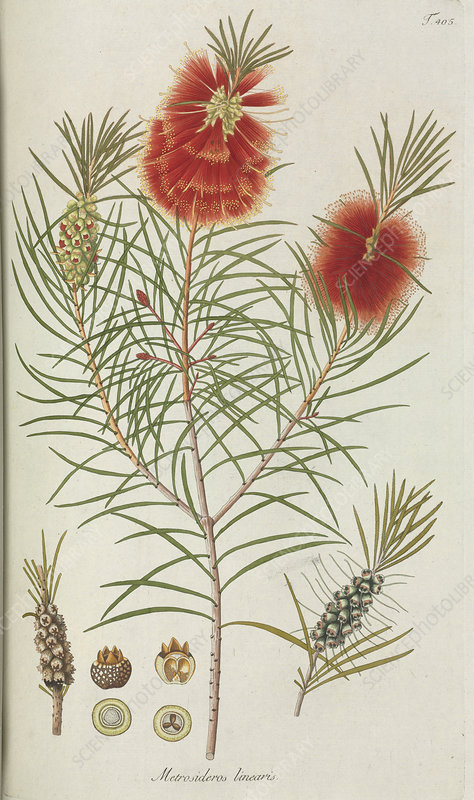 Bottle brush (Metrosideros linearis)