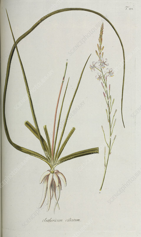 Anthericum ciliatum plant, artwork
