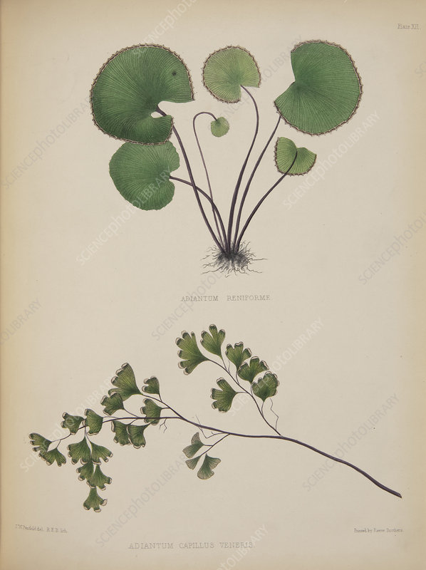 Maidenhair ferns, artwork