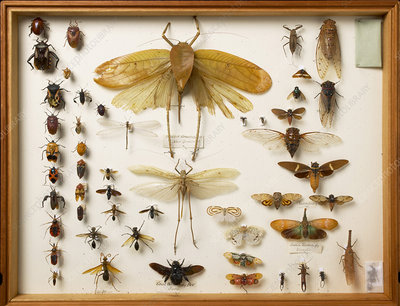 Wallace Collection insect specimens