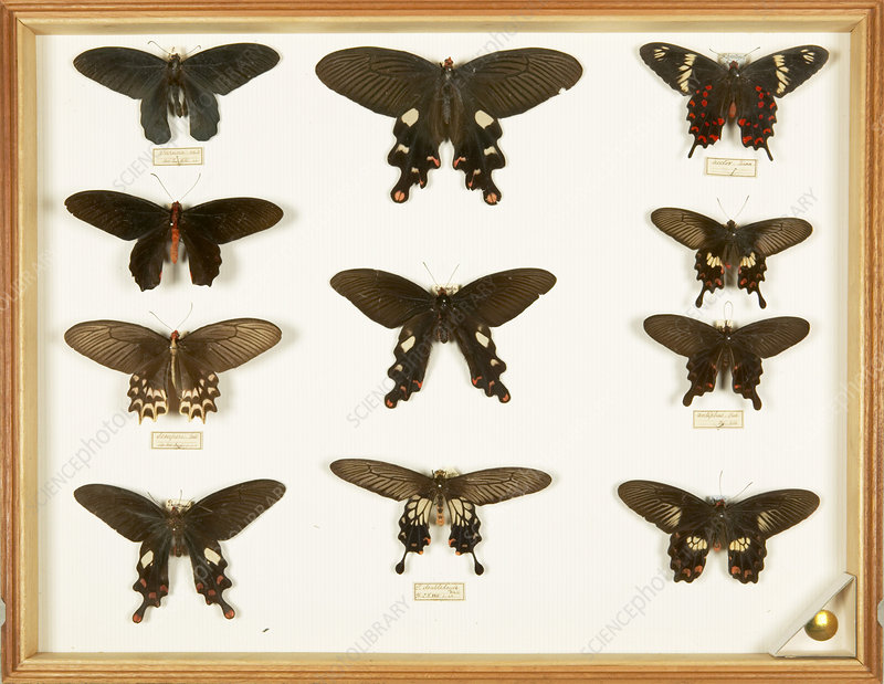 Wallace Collection butterfly specimens