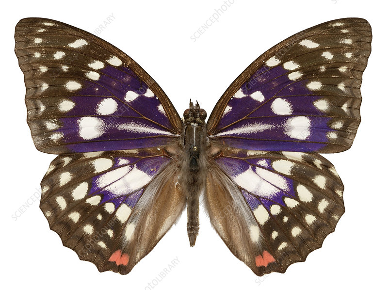 Great purple butterfly