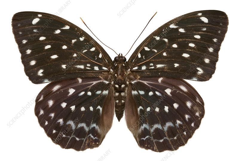 Great archduke butterfly