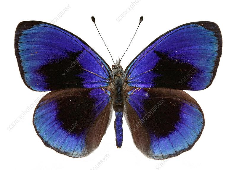 Asterope sapphira butterfly