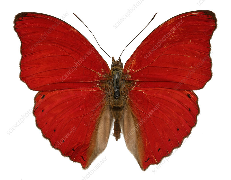 Blood-red cymothoe butterfly