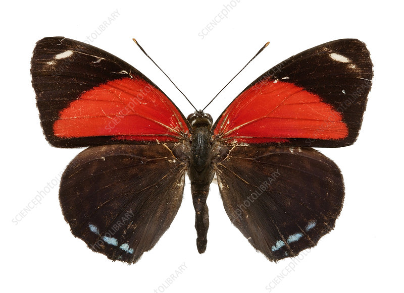 Callicore cyllene butterfly