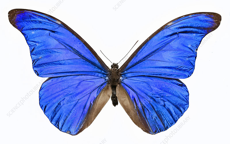 Morpho rhetenor butterfly