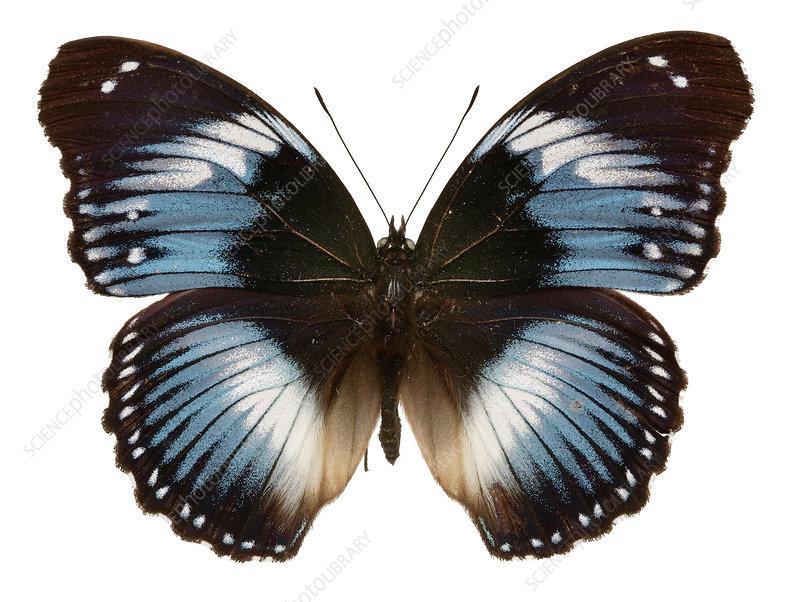 Blue diadem African butterfly