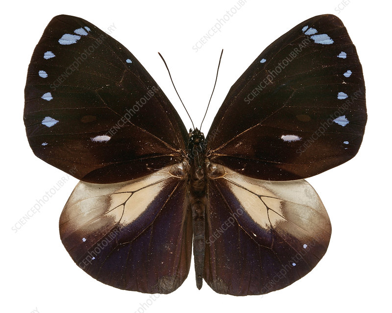 Blue-banded king crow butterfly