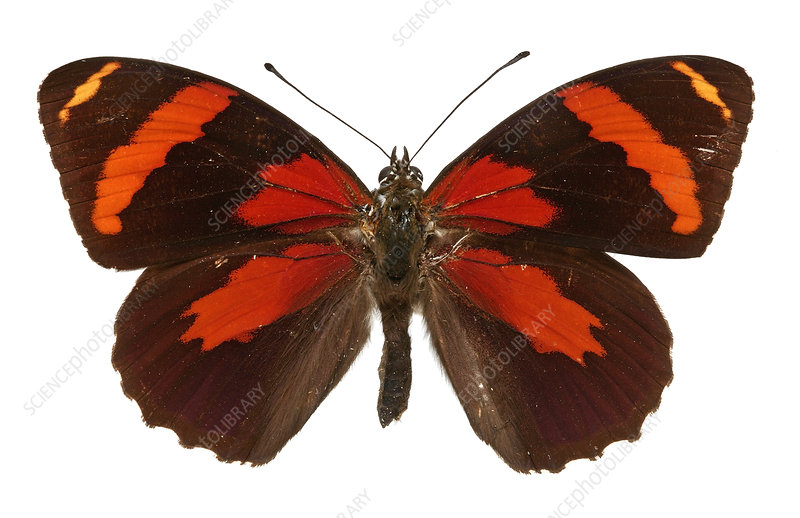 Catagramma cynosura butterfly