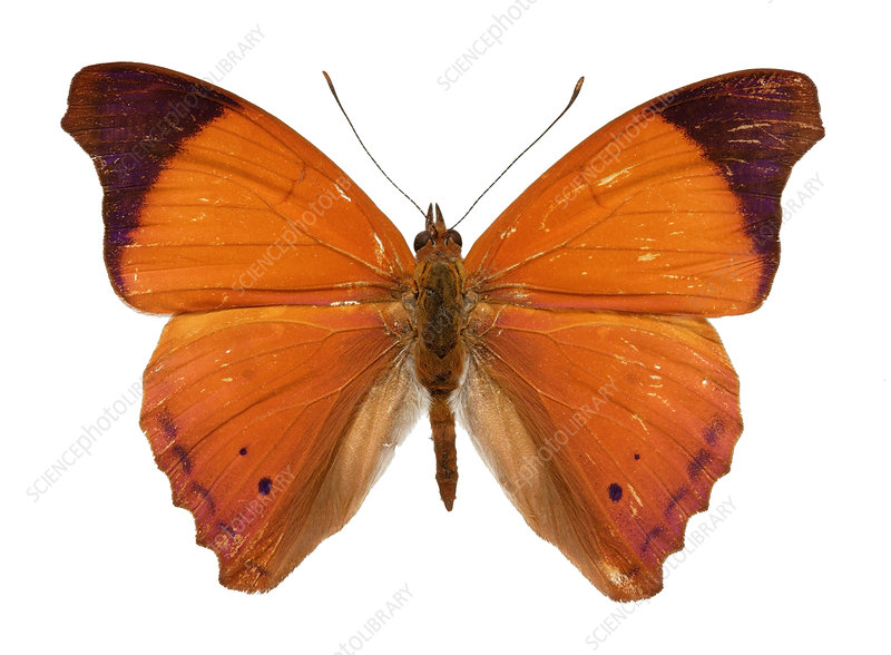 Orange beauty butterfly