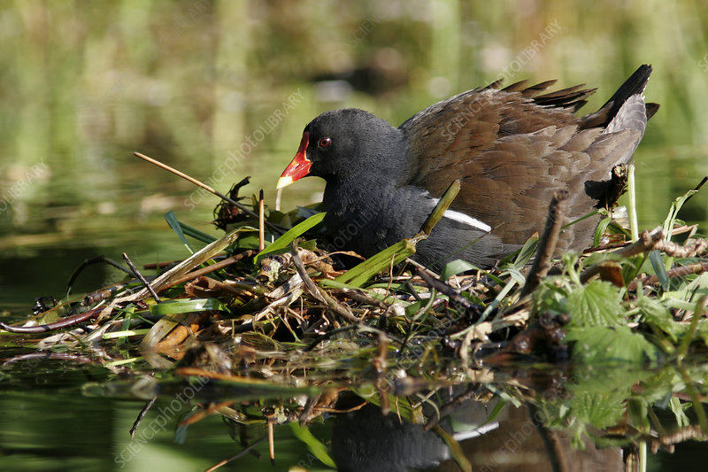 Common moorhen nesting