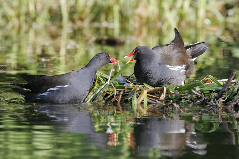 Common moorhens nesting