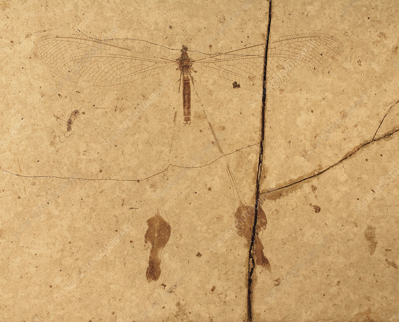 Florissant Formation insect fossil