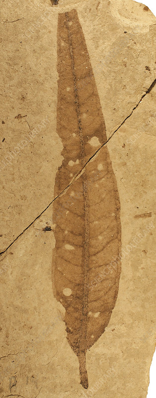 Florissant Formation plant fossil