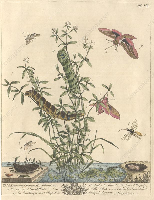 Elephant hawk-moth, artwork