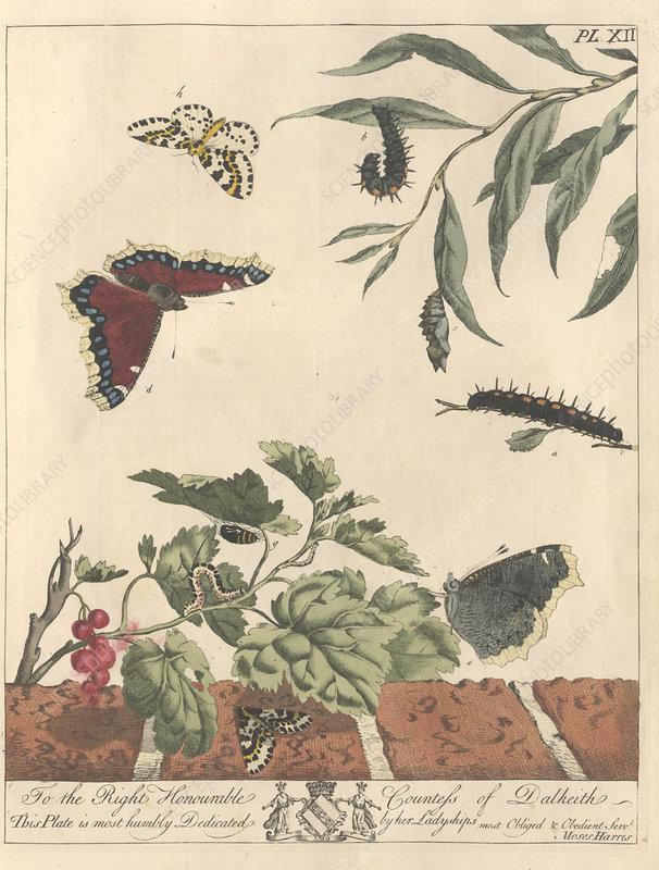 Large magpie moth, artwork