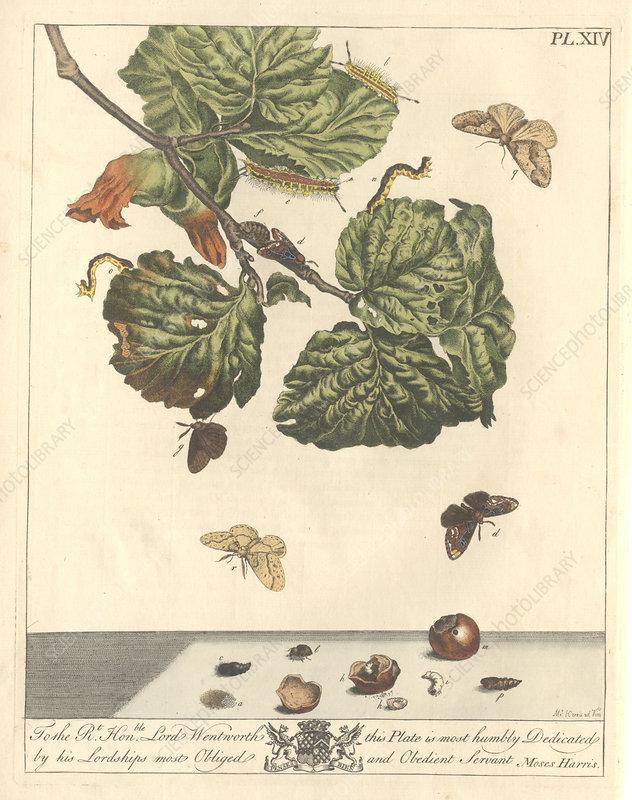 Stored nut moth, artwork