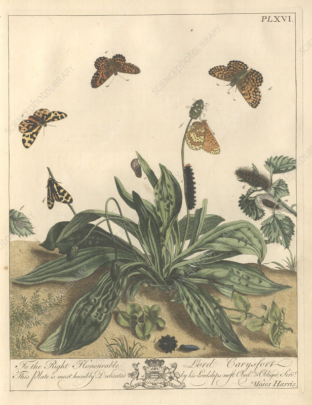 Glanville fritillary butterfly, artwork