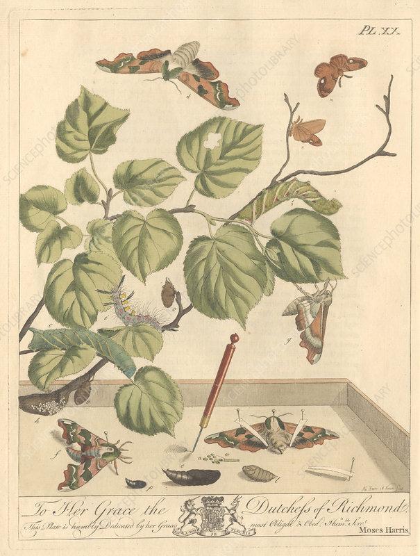 Lime hawk-moth, artwork