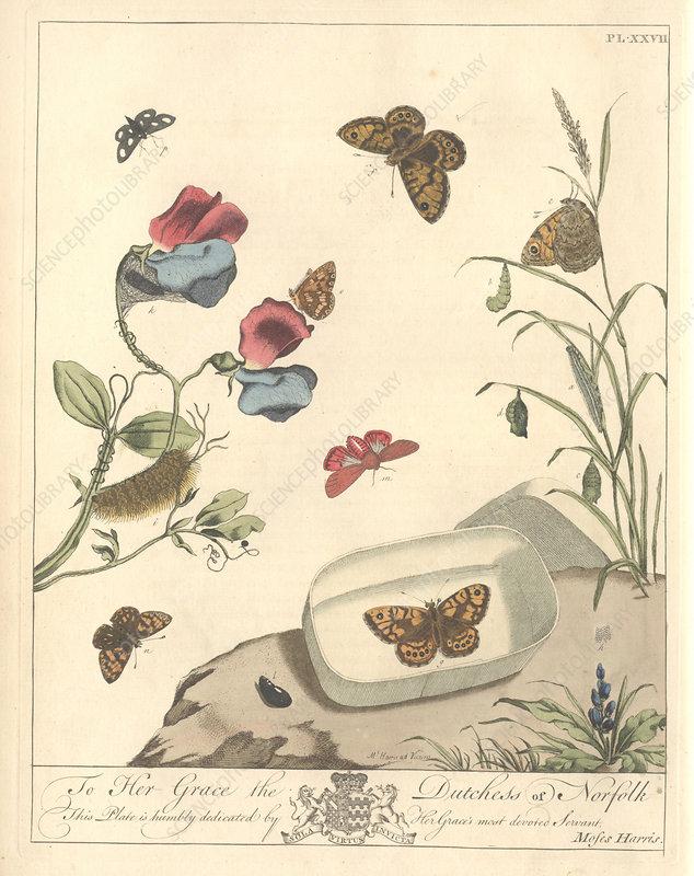 Ruby tiger moth, artwork