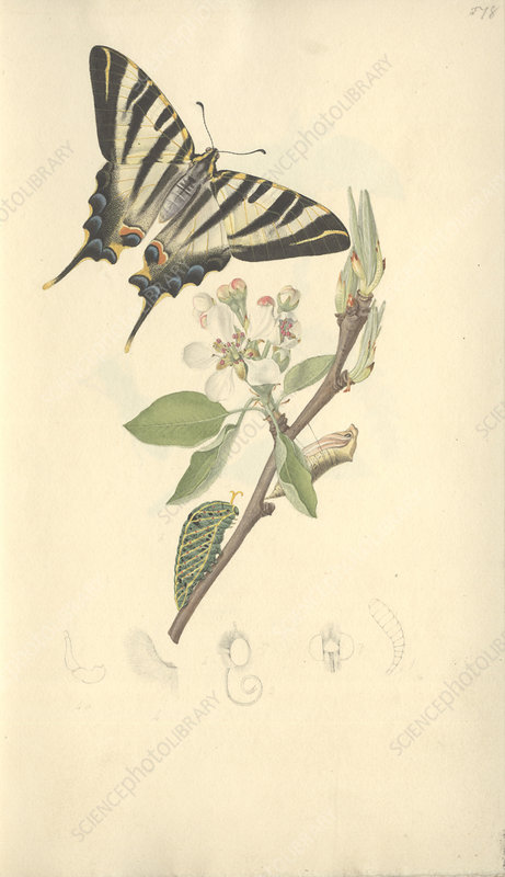 Swallowtail butterfly, 19th century