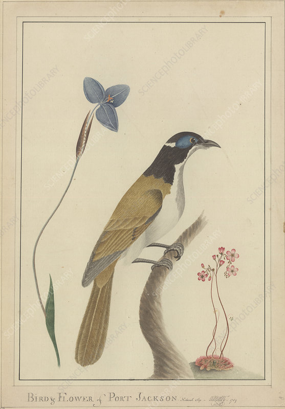 Blue-faced honeyeater and flowers artwork